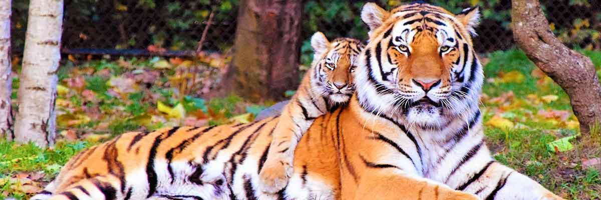 Doctor Carnivoor - carnivoordieet deel 2 - tijger en jong